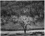 Oak Tree, Rain, Sonoma County Hills, California