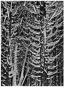 Cedar Trees in Snow, Yosemite National Park, California