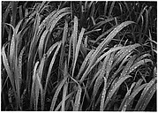 Grass, Glacier Bay National Monument, Alaska