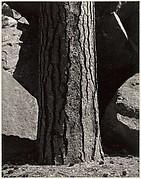 Pine Tree, Rocks, Yosemite Valley, California