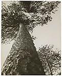 Pine Trees in Pushkin Park