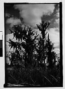 [Cypress Trees, New Orleans Vicinity, Louisiana]