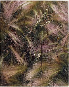 Foxtail Grass, Colorado