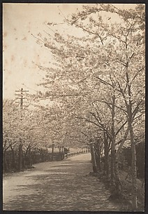 [Cherry Trees in Blossom Along Roadside]