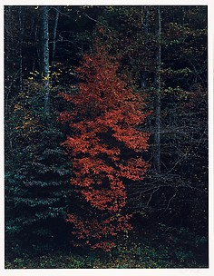 Red Tree Near Cades Cove, Great Smoky Mountains National Park, Tennessee