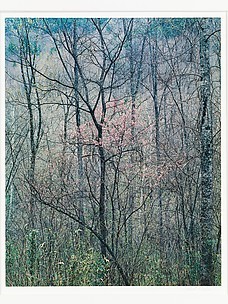 Redbud Trees in Bottom Land, Red River Gorge, Kentucky