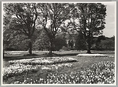 [Spring Daffodils under the Trees of Dalwyck House, Pebbleshire]