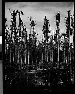 [Cypress Trees in Swamp, Florida]