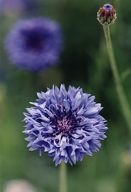 Large Cornflower—no. 47, Düsseldorf