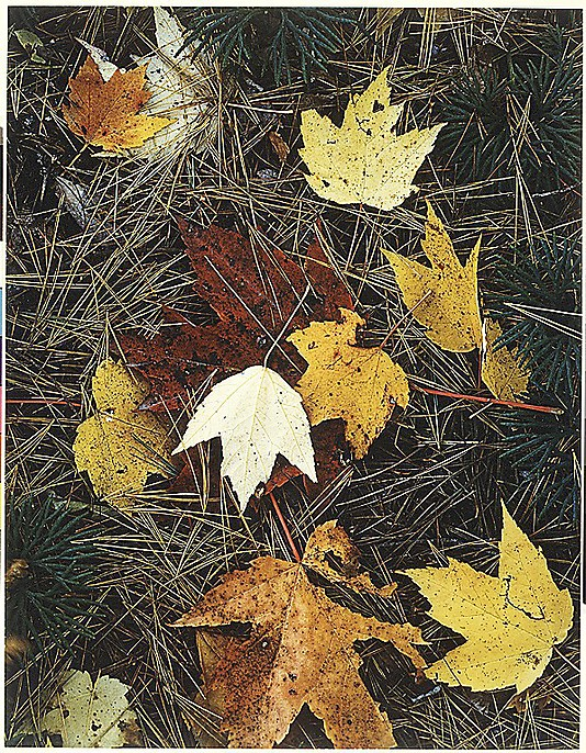 Maple Leaves and Pine Needles, Tamworth, New Hampshire