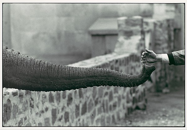 [Hand Feeding Elephant Trunk, Zoo]