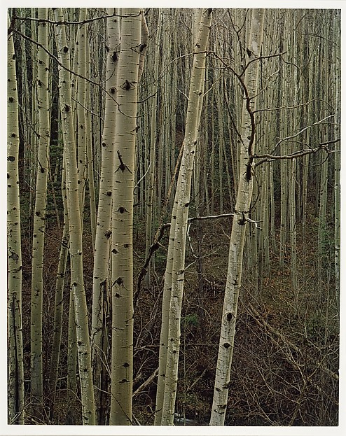 Aspens in Early Spring, New Mexico