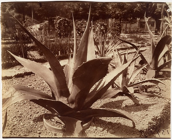 Agave du Mexique