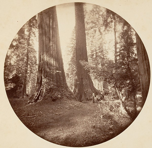 [Trees in Calaveras Grove and Views of Yosemite, California]