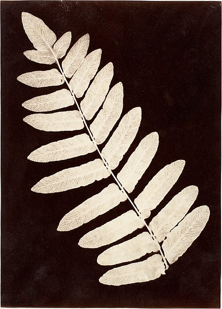 [Botanical Specimen: Fern]