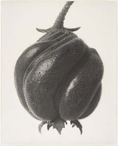 Blumenbachia hieronymi