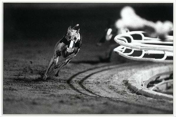 3 White (DG's Mr. Postman) Fourth Race, Phoenix Greyhound Park, Phoenix, Arizona, August 22, 1994