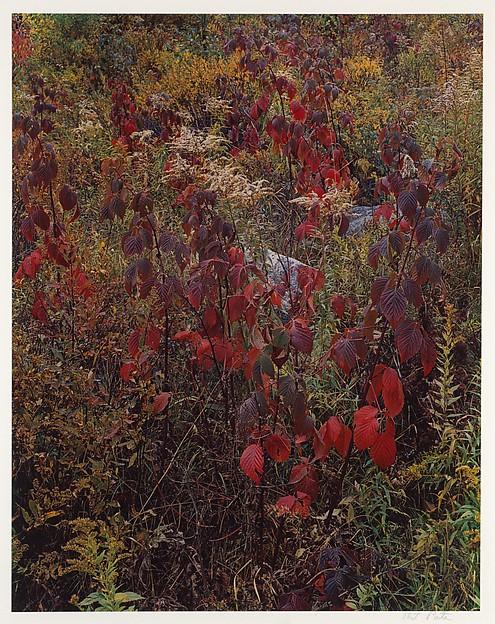 Blackberry Bushes, Adirondack Park, New York