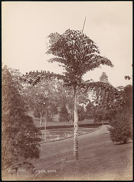 Wine Palm, Caryota Urens