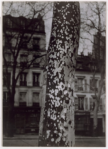Plane Tree, Paris