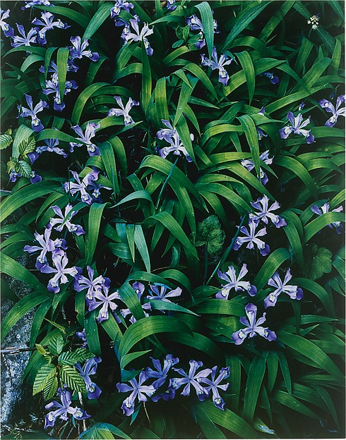 Crested Dwarf Iris, Great Smokey Mountains National Park, Tennessee