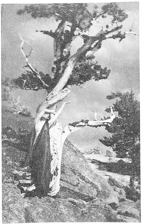 The Dying Cedar