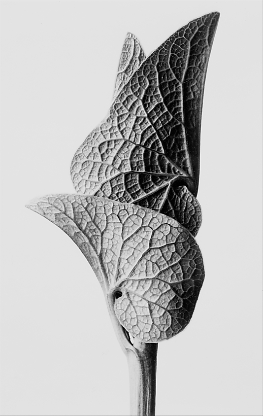 Aristolochia Clematitis