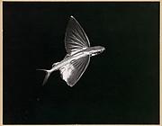 Flying Fish, Catalina Island