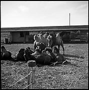 [Camels, Circus Winter Quarters, Sarasota, Florida]