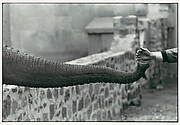 [Hand Feeding Elephant Trunk, Zoo]