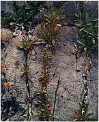 Weeds in Rock Cracks, Maine