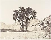 Environs de Fîleh, Palmier Doum sur la Rive Orientale du Nil