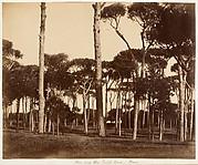 Stone Pines, Villa Pamfili Doria, Rome