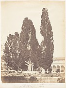 Old Cypress Trees in Carthusian Convent, Rome