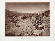 Vineyard of Camulos Ranch