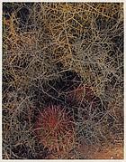 Red-spined Cactus and Lichen-covered Branches, Near El Aguajito, Baja California