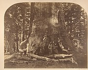 Section of Grisly Giant, Mariposa Grove