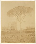 [Tree in Formal Garden Outside Palazzo]