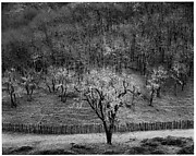Oak Tree, Rain, Sonoma County Hills, California