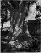 Eucalyptus Tree, Fort Ross, California