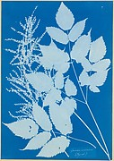 Spiraea aruncus (Tyrol)