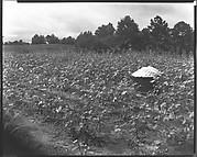 [Cotton Bale in Field, Hale County, Alabama]