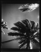 [South Seas: Palm Tree]