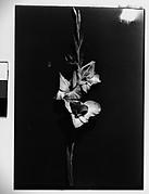 [Gladiola in Front of Backdrop, Darien, Connecticut]