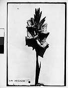 "[Gladiola with Label Marked ""WM MCGAVIN"" in Front of White Backdrop, Darien, Connecticut]"