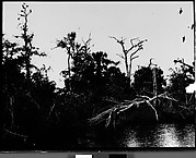 [Cypresses in Everglades, Florida]