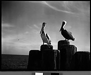 [Pelicans on Dock Piling, Florida]