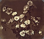 [Flower Study, Rose of Sharon]