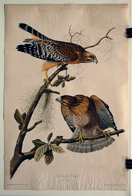 Red Shouldered Hawk (No. 12)