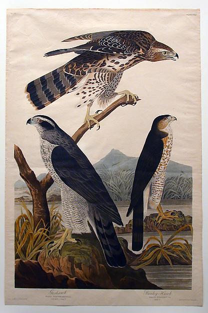 Goshawk, Stanley Hawk (No. 29)